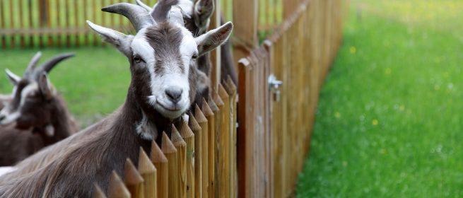 Sala do empreendedor vai levar belmontenses para a maior mostra de caprinos e ovinos do Brasil, em Taperoá-PB